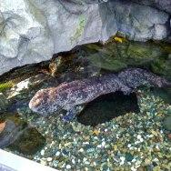 SalamanderC ool fish